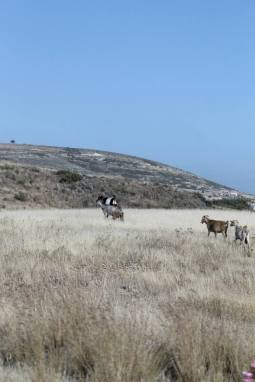 Wild goats! So majestic.